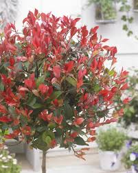of evergreen photinia little red robin trees