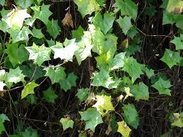 Vine House Plants The 10 Best Pollution Busting House Plants Imaginate