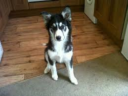 belgian shepherd x border collie the border collie husky mix is this smart active dog right for
