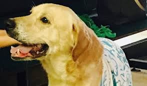 dallas fort worth labrador retriever rescue club