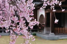 which flowering cherry tree for my garden