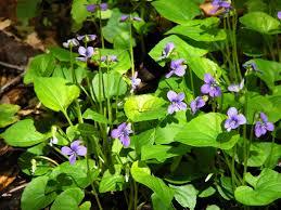 usda native plants common name marsh blue violet botanical name viola cucullata