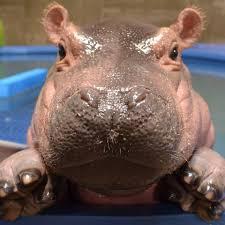 si e social hippopotamus the fiona home