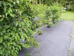 pruning kiwis in summer hartmann u0027s plant company