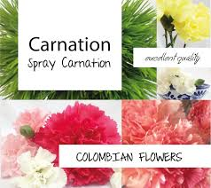 carnation growers in colombia teofarms