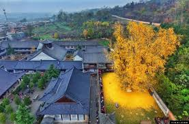 of china tree ancient ginkgo tree drops an of golden leaves