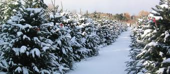 cut and choose christmas tree farm in the heart of apple hill