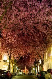 the most beautiful cherry blossoms around the world bored panda