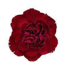Bulk Flowers Burgundy Carnations Wholesale Bulk Flowers U2013 Jrroses Com