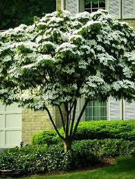 buy flowering trees the tree center