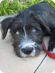 australian shepherd adoption mandy adopted dog van nuys ca border terrier australian