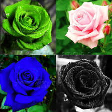 white blue roses seeds rainbow pink purple green black white blue