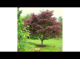 meadow valley ornamental japanese maple tree