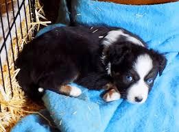 australian shepherd 6 weeks old liczba pomysłów na temat australian shepherd for sale na