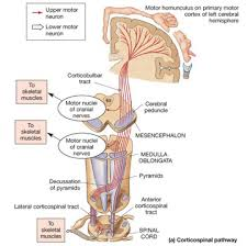 Pyramids Of The Medulla Manumissio Corticospinal Tract