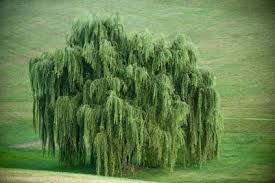 weeping willow tree all about weeping willow trees