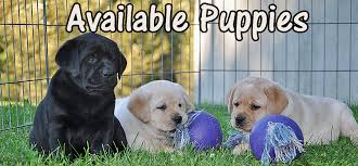 riorock labrador retrievers puppies litters england