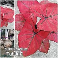 1 bulbs thai caladium tubtim caladium plant leaves