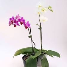 moth orchid didyouknow some plants such as orchids do not need soil to grow