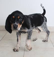 bluetick coonhound energy level sample d170706 secondhand hounds