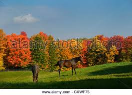 two brown horses in a paddock with fall maple trees in rural