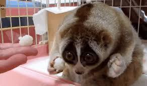 Lemur Meme - create meme arrrrgh arrrrgh slow loris gif pictures