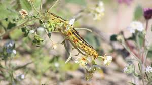sphinx moth caterpillar eating wildflowers anza borrego desert