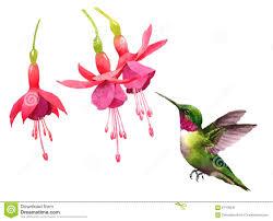 Hummingbird Flowers Hummingbird Flying Around Fuchsia Flowers Watercolor Bird