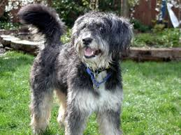 bearded collie x terrier guess the breed s terrier schnauzer spaniel rescued dogs