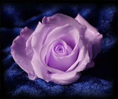 lavender roses 26 best lavender roses images on lavender roses
