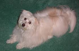 american eskimo dog washington state french bulldog puppies and dogs for sale in usa