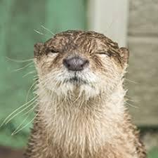 Otter Meme - otter meme hiddlebatch fans