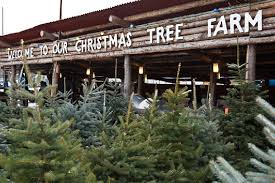 real christmas trees for sale real christmas trees for sale in surrey london m25 wix