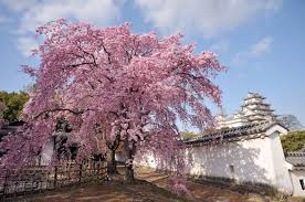 cultural significance of cherry blossoms hanami