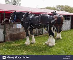 a heavy horse outside temporary stables at a horse show stock