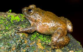 pictures meowing night frog other new species found