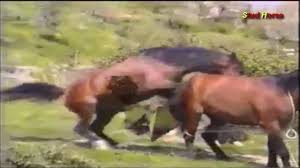 mustangs mating white stallion mating horsebreeders