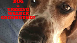 westminster bluetick coonhound 2016 is my dog a treeing walker coonhound youtube