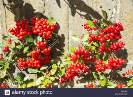 shepherdia argentea silver buffaloberry california a thorny shrub stock photos u0026 a thorny shrub stock images alamy