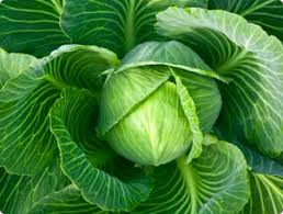 growing cabbage delicious ornamental fruit vegetable herb