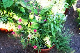 Herb Container Garden - colorful herb container gardens