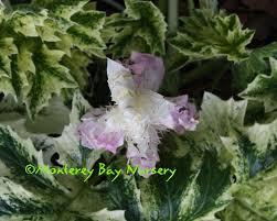 Medusa Planter Monterey Bay Nurser Plants A