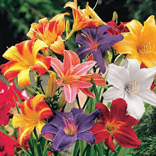 day lillies daylilies