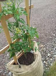 frugal gardening growing food in burlap sacks