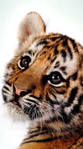 best 20 tiger cubs ideas on pinterest tiger cub cute tigers