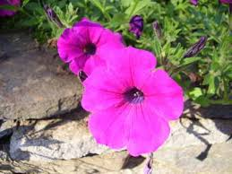 petunia flowers petunia a profile of an annual flower howstuffworks