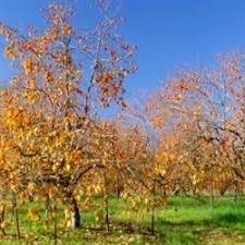 313 best fruit trees images on fruit trees
