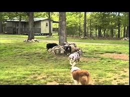australian shepherd 2015 nationals mov019 playtime at cooper australian shepherds may 2015 youtube