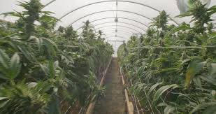 walking through professional cannabis commercial growing indoor