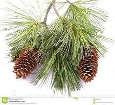 pine tree branch and cones stock photos image 3232613